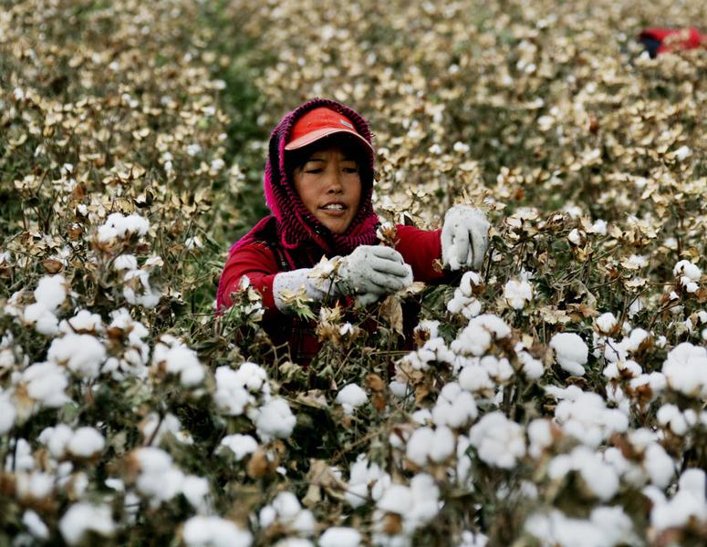 圖為2016年10月23日,一名新疆婦女在採摘棉花。(STR/AFP/Getty Images)