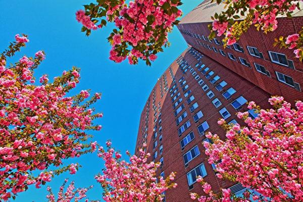 圖為孔子大廈的櫻花。(紐約中華公所提供)