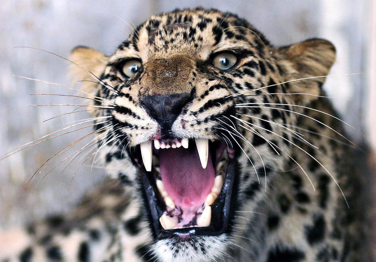 近日,杭州野生動物世界3隻金錢豹出逃,園方在約一周後才不得已承認發生事故。圖為資料圖。(TARIQ MAHMOOD/AFP via Getty Images)