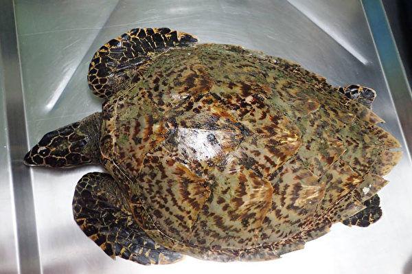 海洋生態暨保育研究室3日在臉書上表示,11月24日在宜蘭縣利澤沙灘發現一隻海龜玳瑁(圖),但經過4天急救後,仍不治死亡。經過獸醫解剖後發現,胃中充滿塑膠垃圾。(海洋生態暨保育研究室提供)