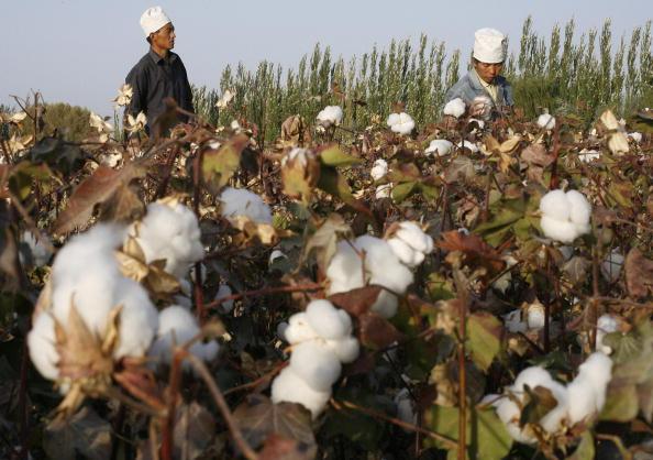 【新疆棉】中共自嚐苦果 全球時尚產業禁用新疆棉花