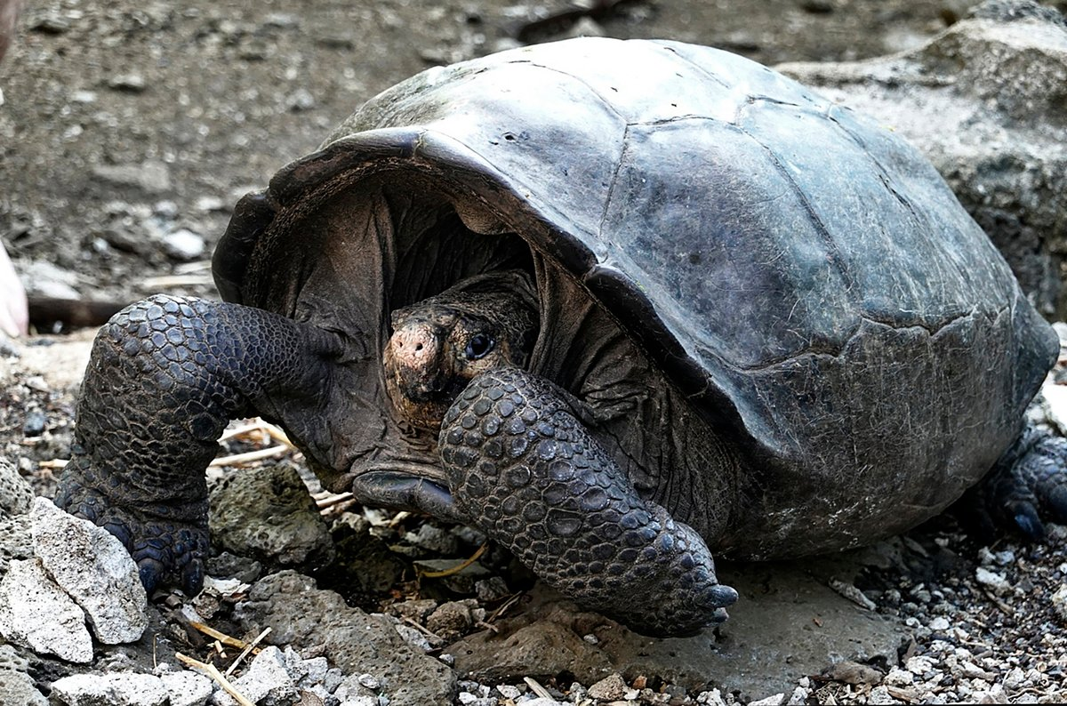 2019年2月17日,在厄瓜多爾加拉帕戈斯群島的費南迪納島上發現了這隻巨龜。(RODRIGO BUENDIA/AFP/Getty Images)