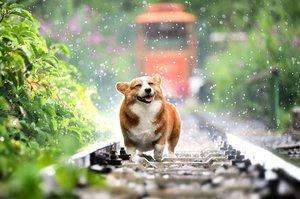 狗界影帝?這隻日本柯基犬的表情超有戲