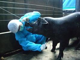 台灣海漂豬確認來自中共的非洲豬瘟 屏縣全民防範