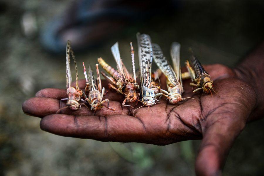 蝗蟲大軍逼近首都 印度直升機和無人機迎戰
