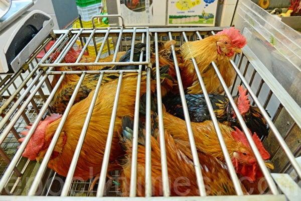 四川省南充市西充縣發生H5N6亞型高致病性禽流感疫情。圖為示意圖。(大紀元資料圖片)