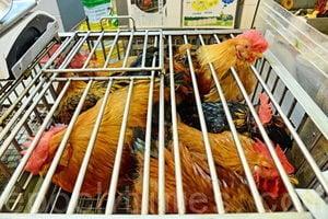 四川南充爆發H5N6高致病性禽流感