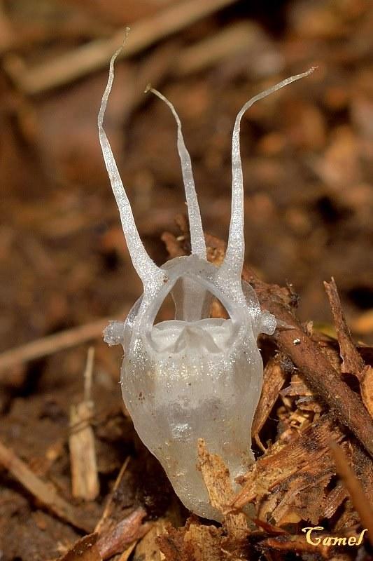 以上為水玉杯屬(Thismia)的另一個物種。與本文介紹的同為一個屬。(Kuo-Chu Yueh/Flickr)