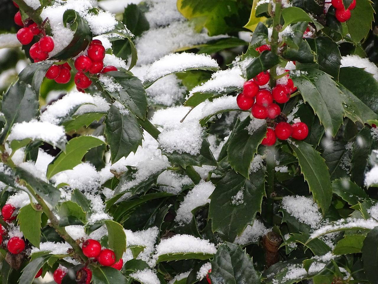 冬至時節,好風吹動冬青樹。華夏文化傳說冬青是萬年枝、長生樹。(pixabay)