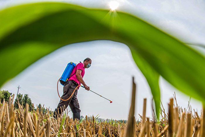 2020年8月18日,中共農業農村部發文稱水稻有望在災年實現豐收,這與之前公佈的農作物受災情況相悖。圖為示意圖。(STR/AFP via Getty Images)