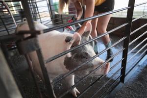 近千美種豬空降四川 中國種豬年進口超二萬頭