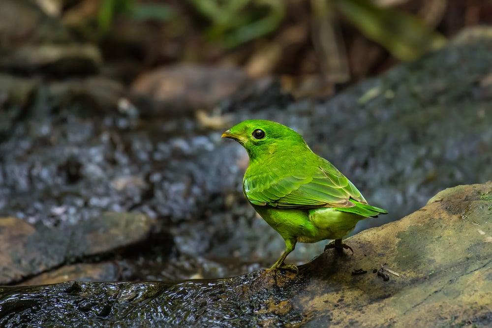 一隻雌性綠闊嘴鳥。(Shutterstock)