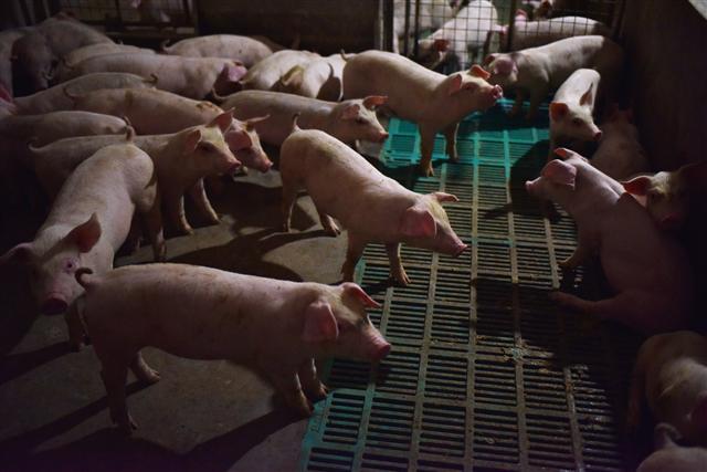 美國學者近日發表文章表示,在中國豬隻身上發現「豬急性腹瀉症候群冠狀病毒(SADS-CoV)」,對人類健康構成威脅,不排除傳染給人的風險。圖為豬場示意圖。(GREG BAKER/AFP/Getty Images)