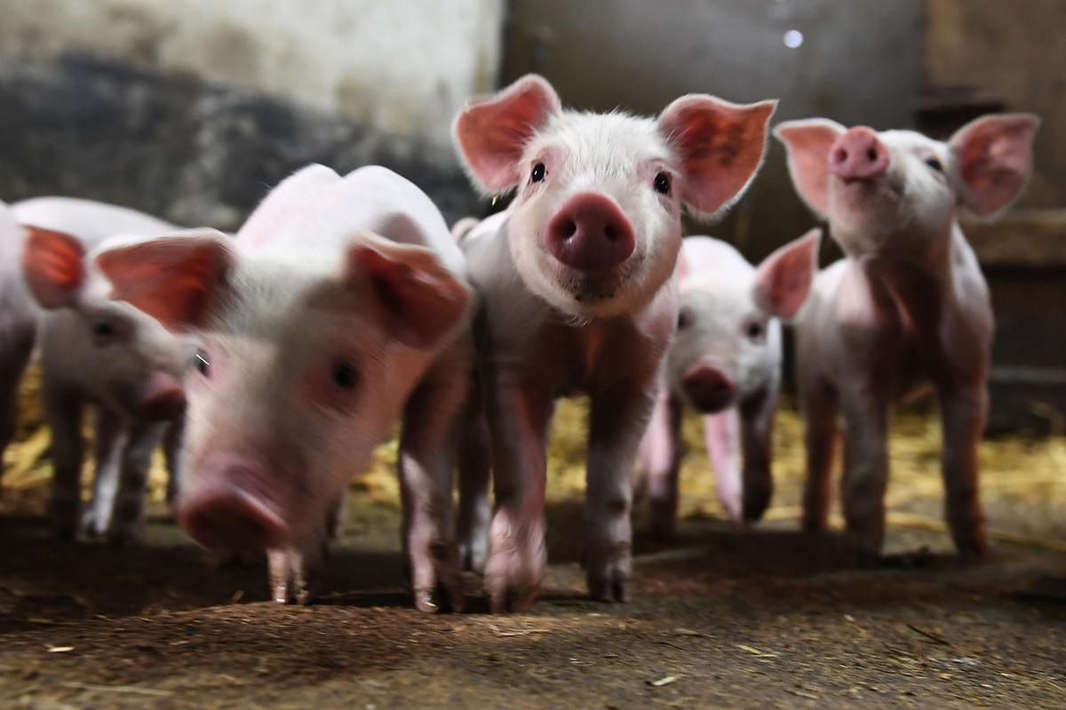 圖為豬仔示意圖。(DAMIEN MEYER/AFP via Getty Images)