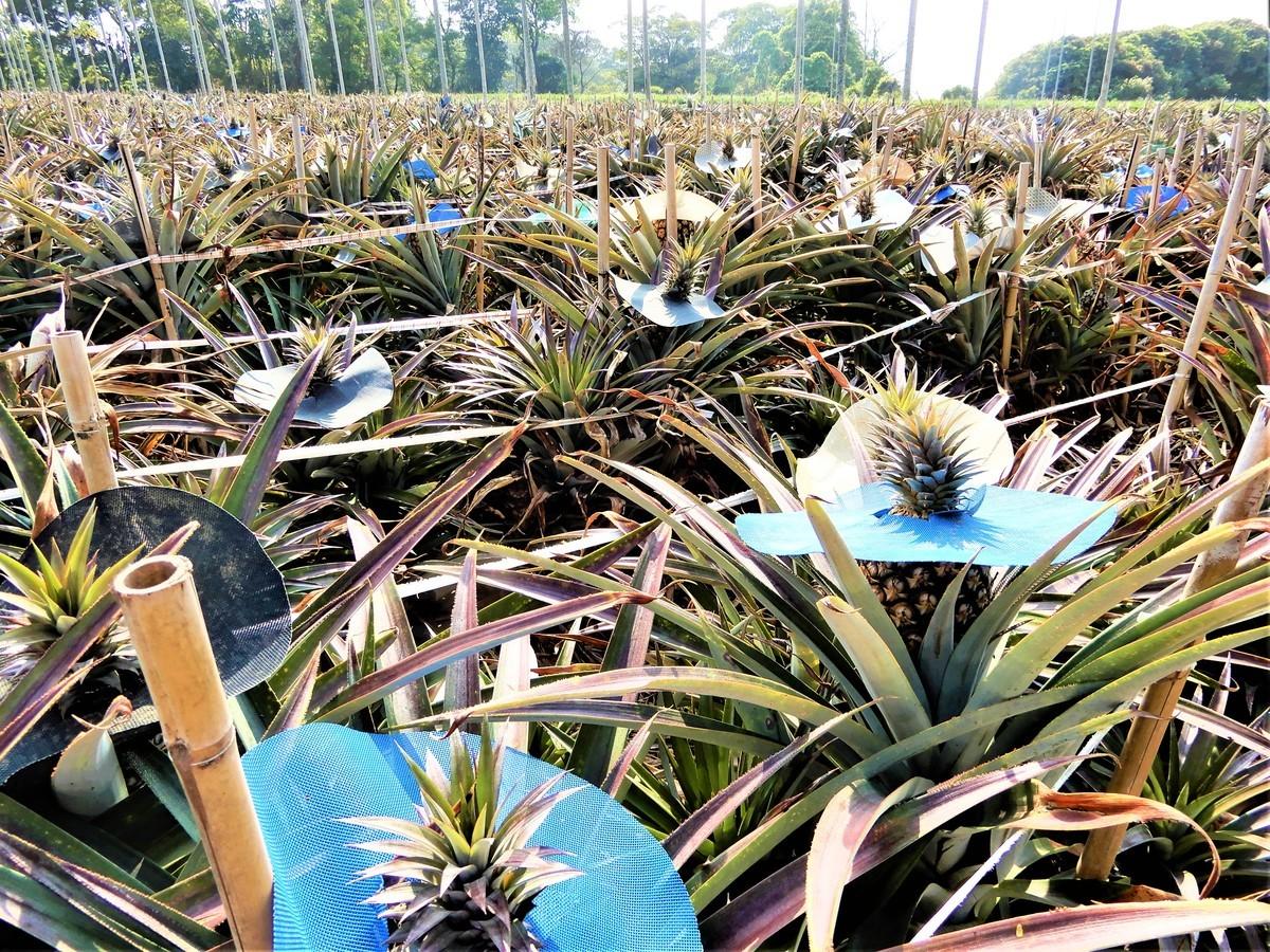 日正當中,一顆顆躲在驕陽下的綠皮菠蘿,戴上五顏六色的圓帽子,大約過兩個月就要採收了。(黃玉燕/大紀元)