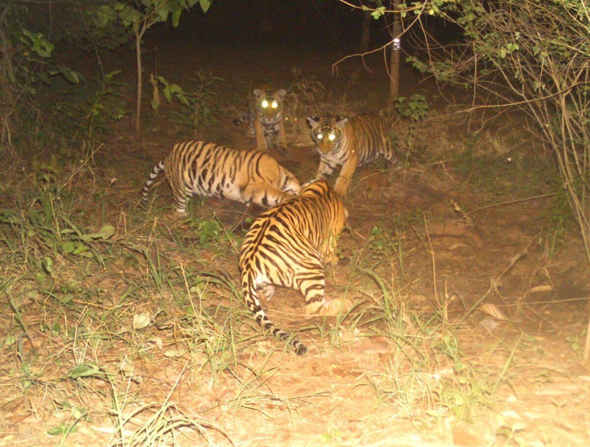 無論是休息還是閒逛,這四隻幼崽總是形影不離。(Forest Authorities, Panna Tiger Reserve提供)