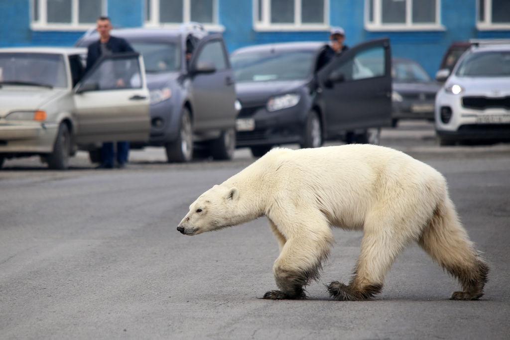 北極熊在俄國諾裏爾斯克市遊走。(Irina Yarinskaya/AFP/Getty Images)