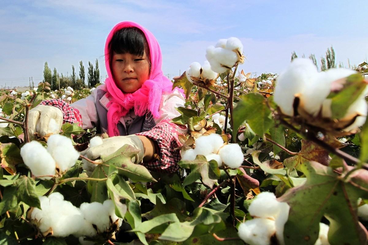 新疆棉爭議源自去年10月,瑞士「良好棉花發展協會」(BCI)認定新疆持續遭受強迫勞動。( STR/AFP via Getty Images)