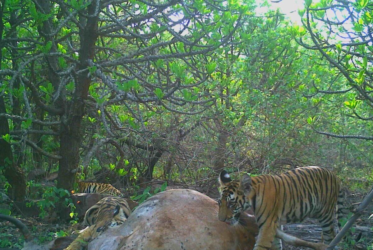 印度老虎保護區內有一隻雄性老虎,在雌虎去世後主動承擔照顧四隻幼崽的責任,野生動物專家稱這種行為非常「罕見」。(Forest Authorities, Panna Tiger Reserve提供)