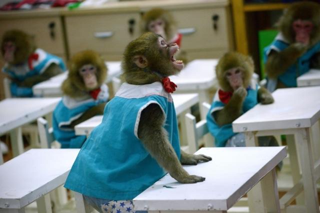 中國科學家日前宣佈,已經培育出帶有人類大腦元素的基因改造猴子,此舉引起倫理學家們的譴責。圖為2016年1月26日,中國山東省,12隻猴子正在動物園學校接受培訓。(WANG ZHAO/AFP)