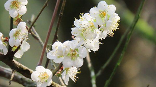 台灣嘉義縣梅山鄉梅山公園的梅花盛開。(蘇家弘提供)