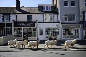 英國小鎮封城 羊群趁機佔領還大啖植物