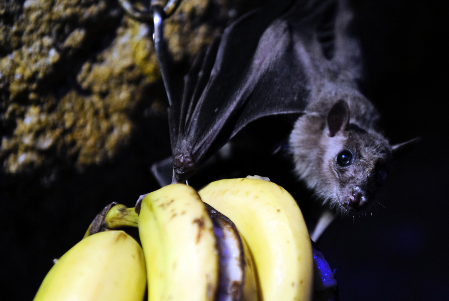 雲南蝙蝠現新病毒 可感染人類 嚴重可致命