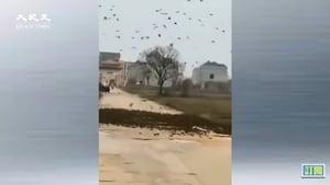 傳江西出現數萬隻麻雀攔路 網民:天降異象