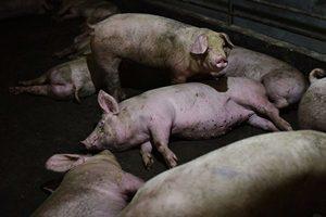 甘肅爆非洲豬瘟 中國4月豬肉進口增長170%