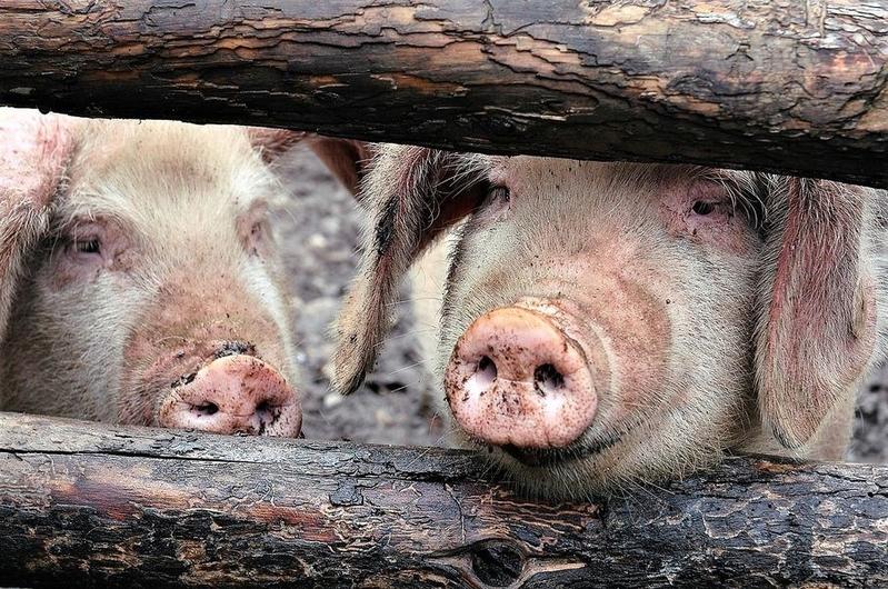 南韓農業部已確認有6例非洲豬瘟病例。26日早上,又有2例疑似非洲豬瘟病例。南韓官方稱,非洲豬瘟已經蔓延至北韓全境。圖為示意圖。(Pixabay圖庫)