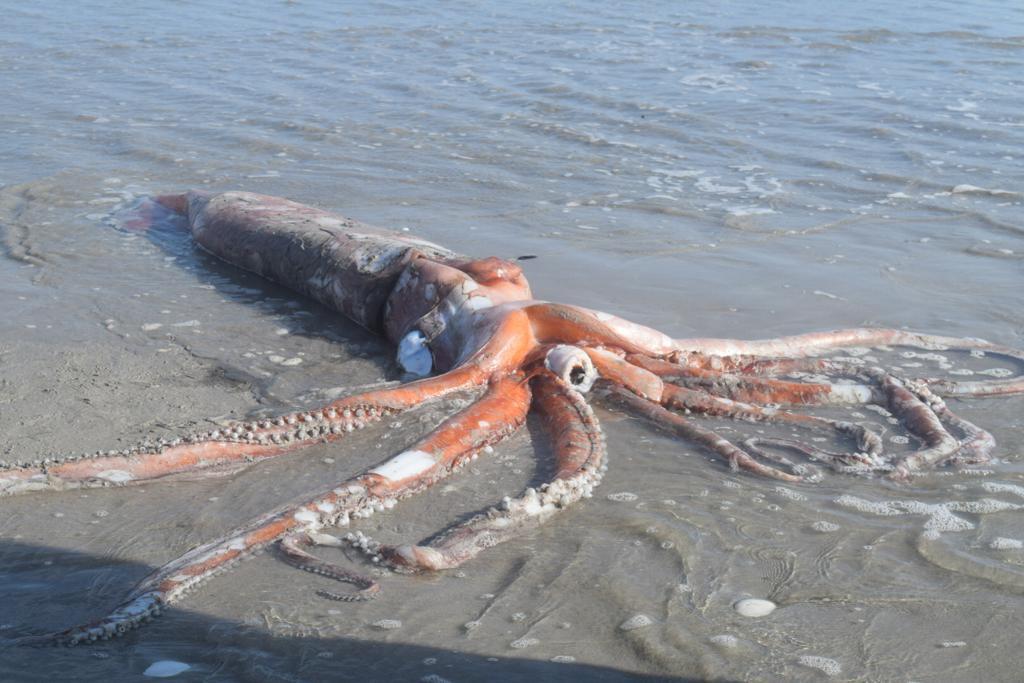 南非西南部海岸6月12日出現一隻身長達4米、重約200公斤的「大王烏賊」橫躺海灘上。(南非自然歷史博物館Iziko South African Museum授權提供)