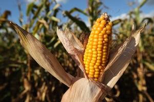 需求缺口大 中國高價進口美國粟米