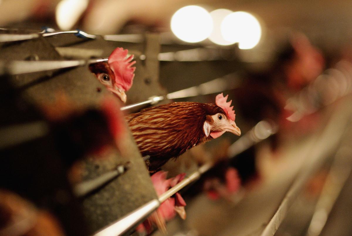 2021年2月20日,俄羅斯衛生官員報告說,在去年12月一個家禽場首次爆發禽流感之後,有一種新的禽流感病毒從禽類傳播到人類。這是全球首批H5N8禽流感傳人病例。示意圖。(Jamie McDonald/Getty Images)