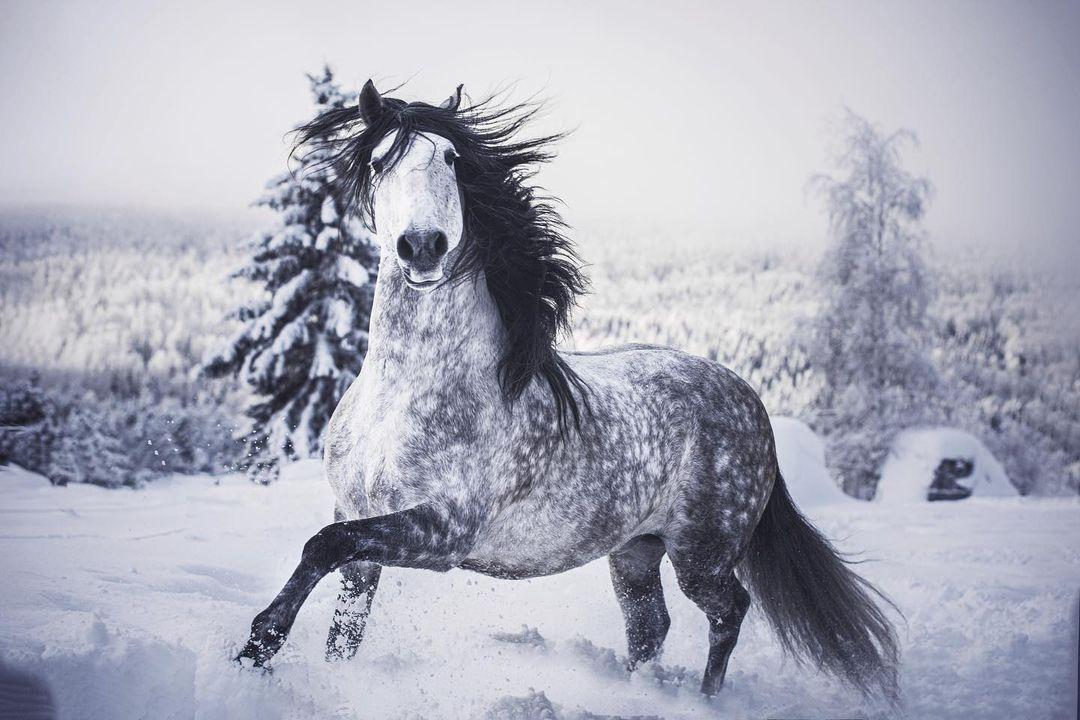 瑞典攝影師維達爾從小就和馬兒結下不解之緣,她尤其喜歡一種以獨特、美麗、擁有貴族氣質而著稱的盧西塔諾馬。(Equine By Vidal提供)