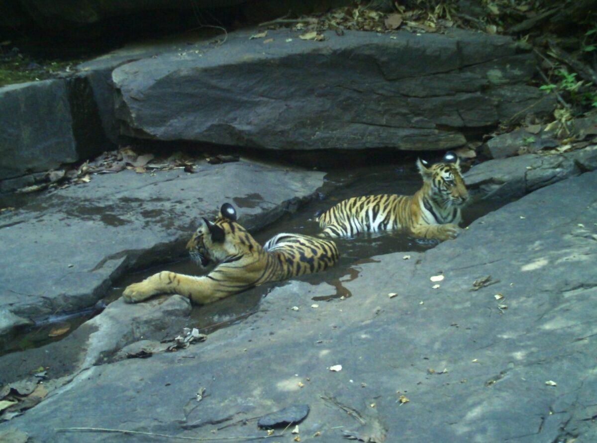 印度四隻幼虎在僅8個月大時就失去了母親。(Forest Authorities, Panna Tiger Reserve提供)