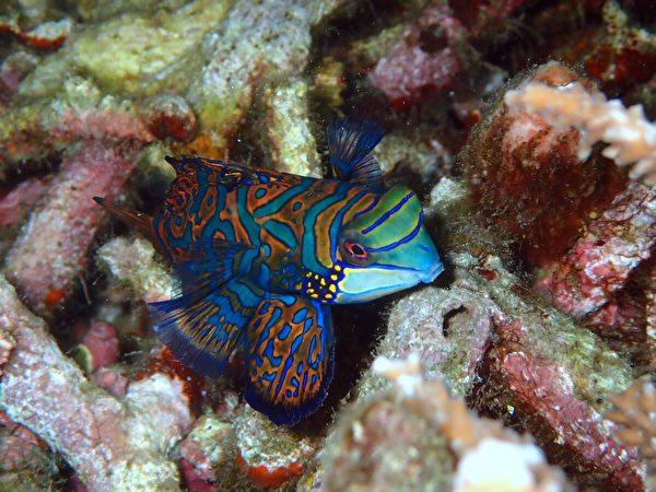 七彩麒麟魚身藏惡毒。(Shutterstock)