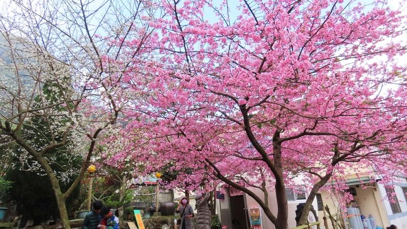 【影片】櫻梅綻放 台阿里山區櫻王和梅花之美