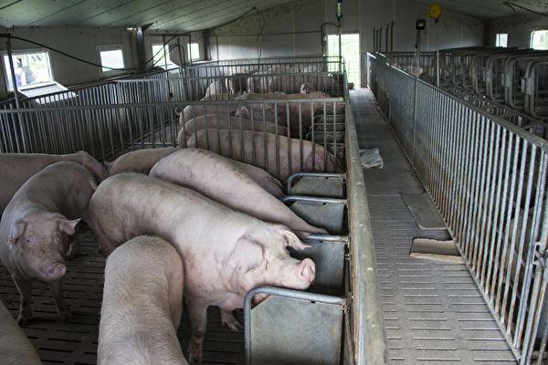 肉價漲 中共取消生豬禁養令 養殖戶怎麼看?