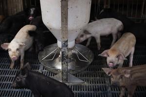 中國豬比貿易戰升級更可怕 西方金融業不解
