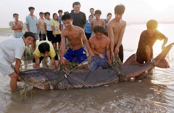 武漢一群漁夫捉住一隻珍稀魚類中華鱘(STR/AFP/Getty Images,2004年8月1日)