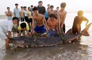「中國淡水魚之王」長江白鱘宣告滅絕