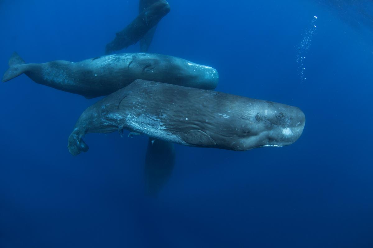 一項新的研究表明,聰明的抹香鯨(Sperm Whales)在200年前就在相互學習如何避免獵人捕魚叉的襲擊了。(ShutterStock)