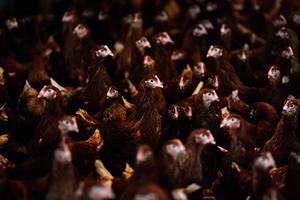 南韓多事之秋 高致病H5N6禽流感又擴散