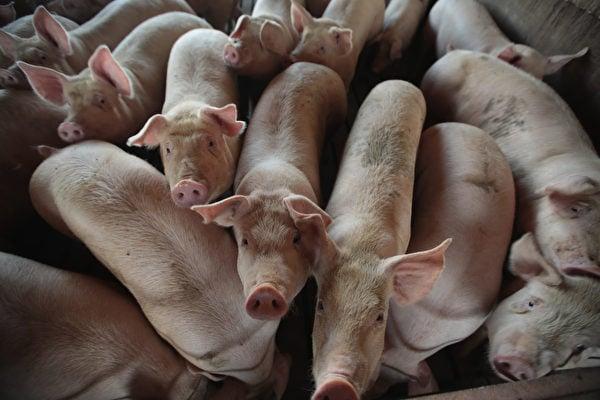 非洲豬瘟在中國大陸蔓延。圖為資料圖。(Scott Olson/Getty Images)