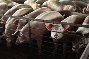 江蘇東海大量生豬死亡 養殖戶:20年首遇