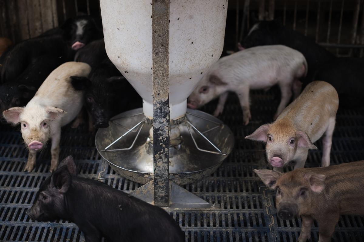 大陸非洲豬瘟(ASF)從北方傳染到了南方,給養殖戶帶來很大損失。(NICOLAS ASFOURI/AFP/Getty Images)
