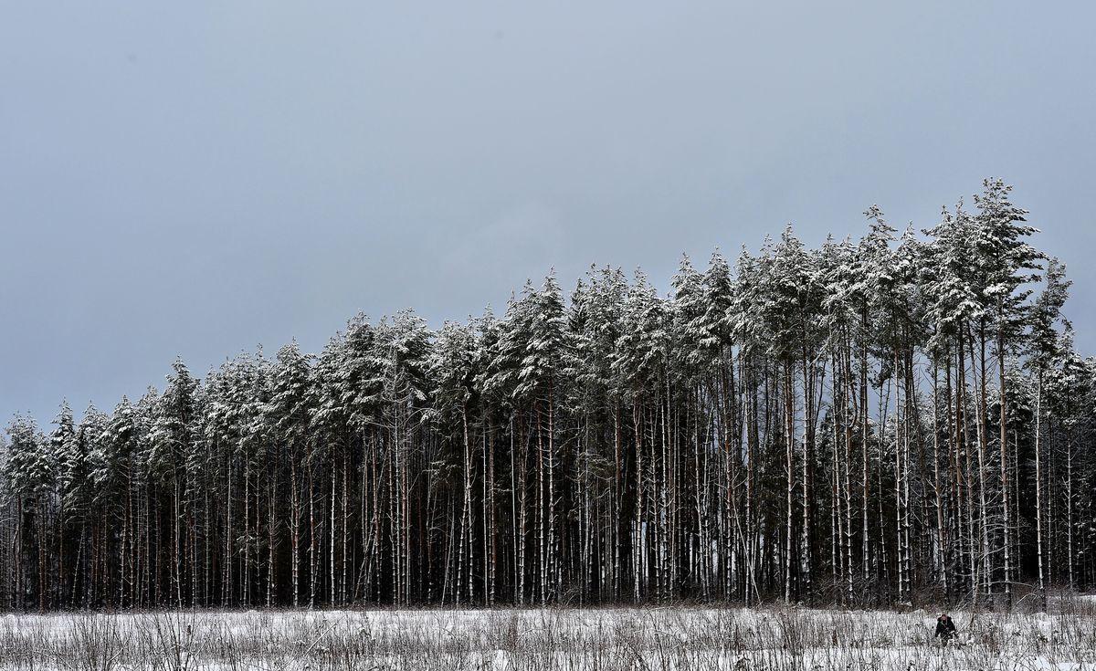 俄羅斯或立法禁止中國公民和企業在俄境內收購木材。圖:2016年2月1日,莫斯科郊外70公里的 Mesherskoye 村莊附近的森林裏,一名婦女走過積雪覆蓋的樹木。(YURI KADOBNOV/AFP/Getty Images)