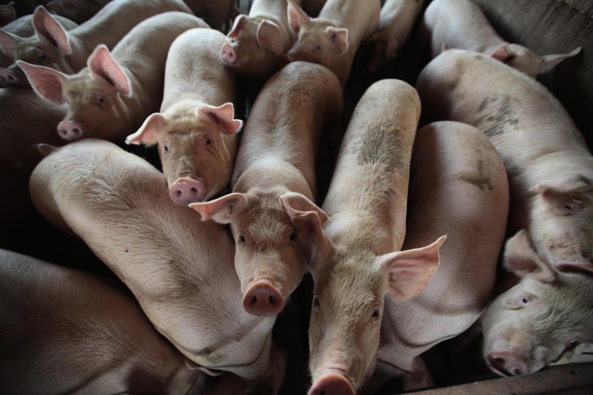 為報復美國,中共取消了今明兩年購買美國豬肉的訂單。圖為示意圖。 (Scott Olson/Getty Images)