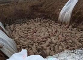 大陸豬瘟蔓延 處置生豬現場影片傳出