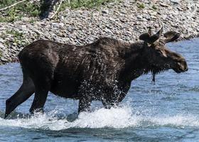 俄羅斯棕熊追捕駝鹿 追到大海裏